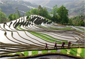 Image 2 – Rice production in China